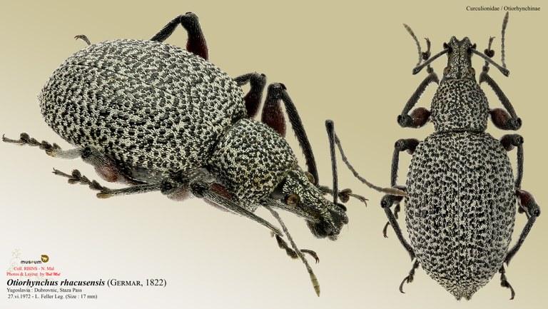 Otiorhynchus (Otiorhynchus) rhacusensis.jpg