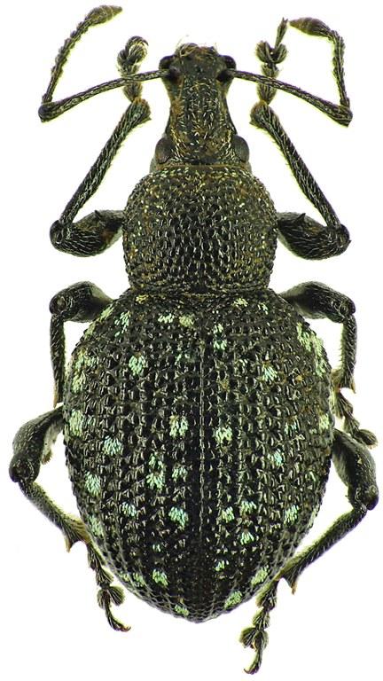 Otiorhynchus (Prilisvanus) gemmatus 14762cz69.jpg