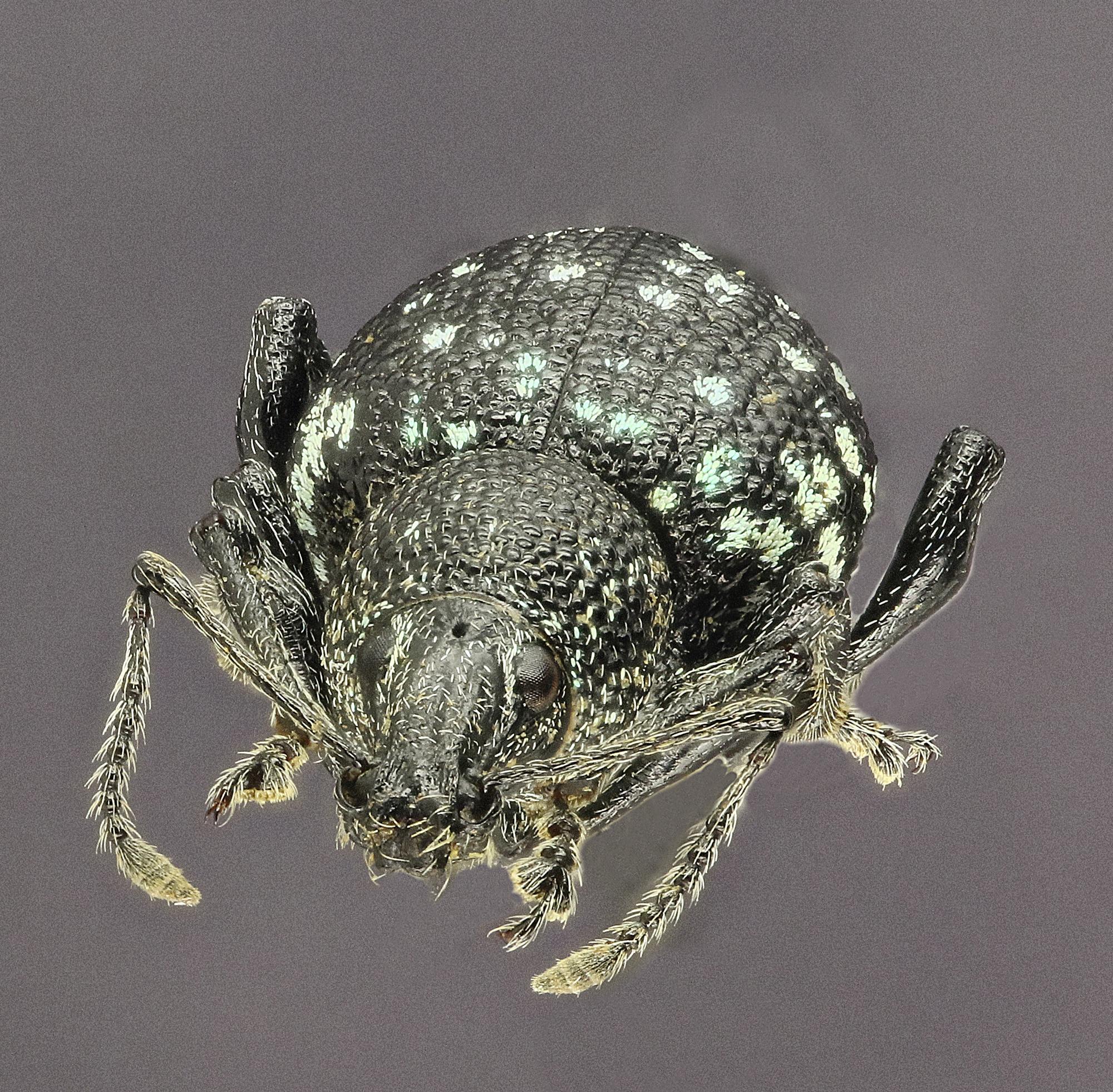 Otiorhynchus (Prilisvanus) gemmatus EOS 70D 7848cz74.jpg