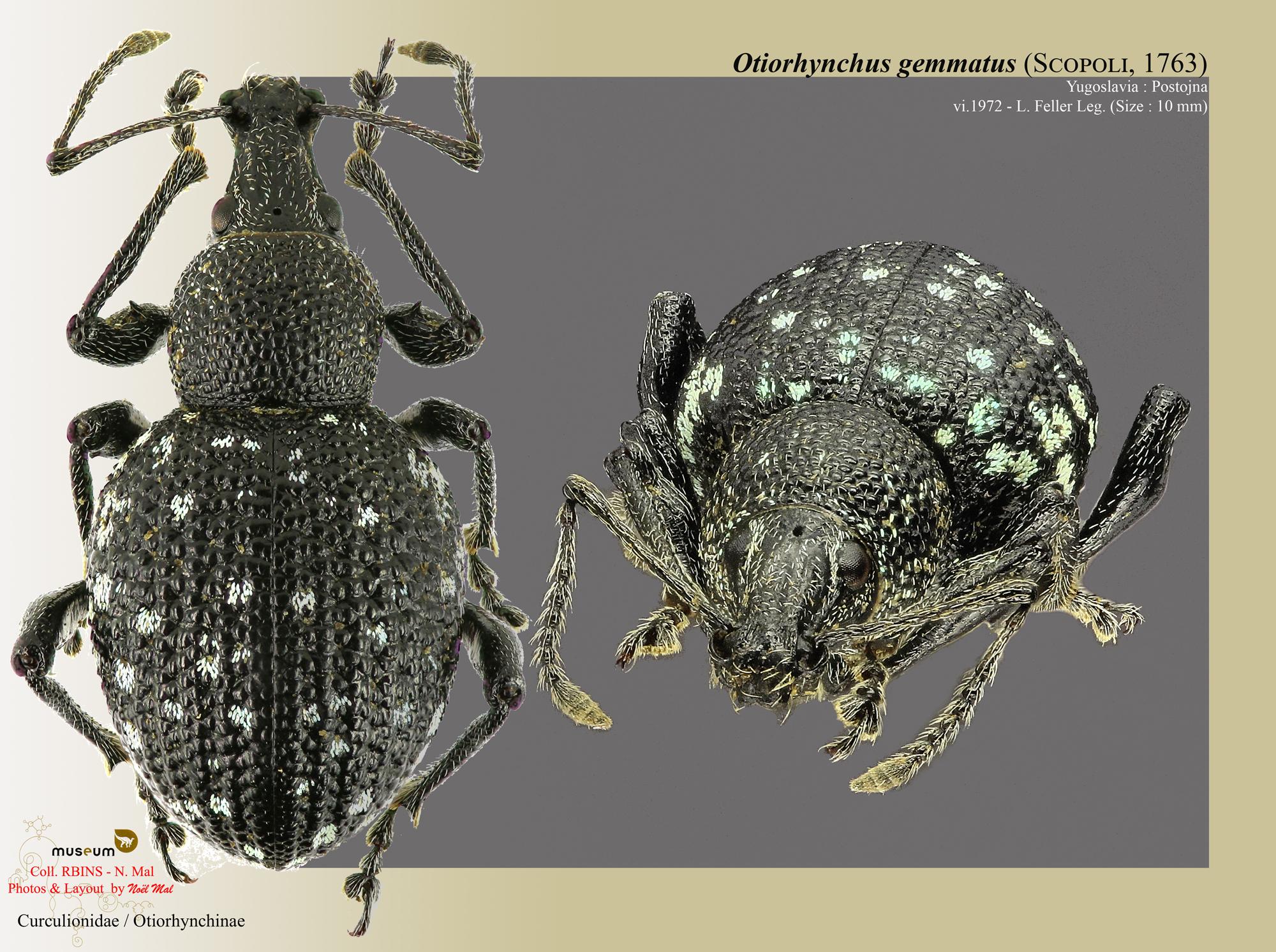 Otiorhynchus (Prilisvanus) gemmatus.jpg