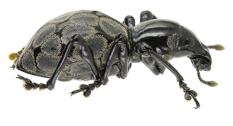 Pachyrhynchus congestus Eos 837cz53.jpg