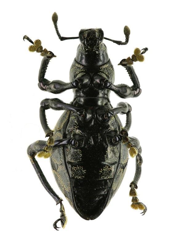 Pachyrhynchus congestus Eos 874cz91.jpg