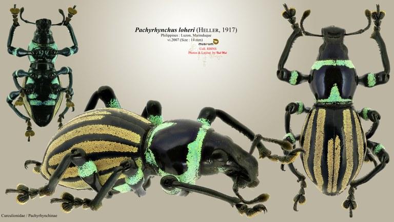 Pachyrhynchus loheri.jpg