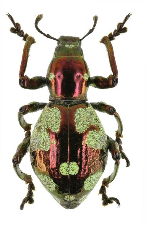 Pachyrhynchus purpureus EOS 70D 7932cz55.jpg