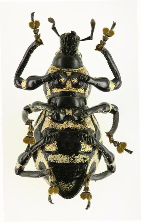 Pachyrhynchus reticulatus Eos 938cz50.jpg