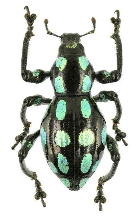 Pachyrhynchus tobafolius EOS 70D 7887cz03.jpg