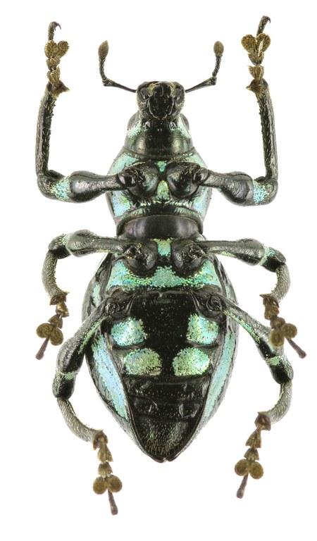 Pachyrhynchus tobafolius EOS 70D 7904cz15.jpg