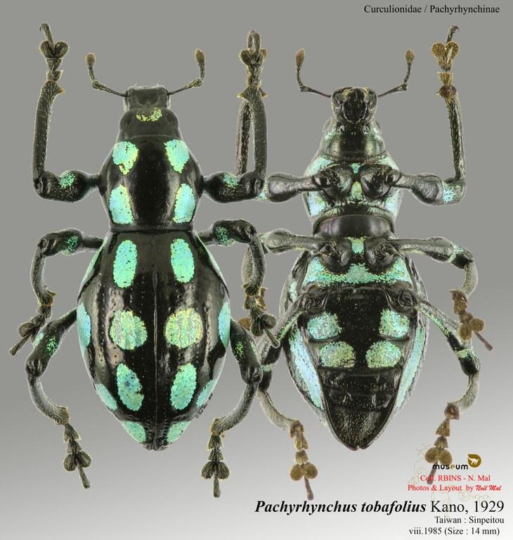 Pachyrhynchus tobafolius.jpg