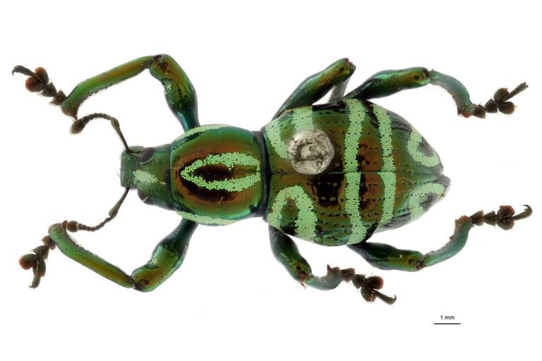 Pachyrrhynchus speciosus subsp. samarensis form regi pt D.jpg