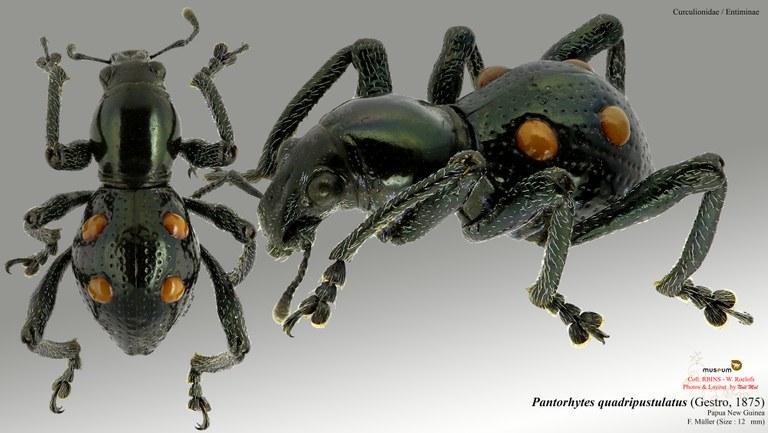 Pantorhytes quadripustulatus.jpg