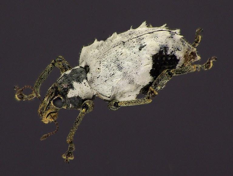 Phaedropus candidus NM61125cz34.jpg