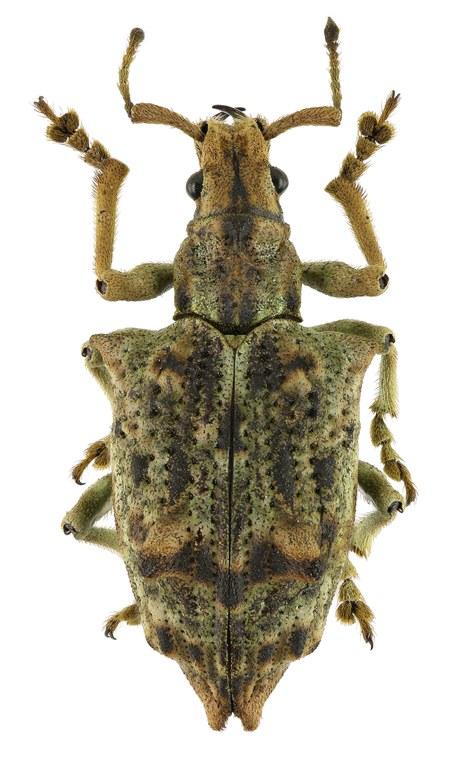 Platyomus nodipennis Eos358cz70.jpg