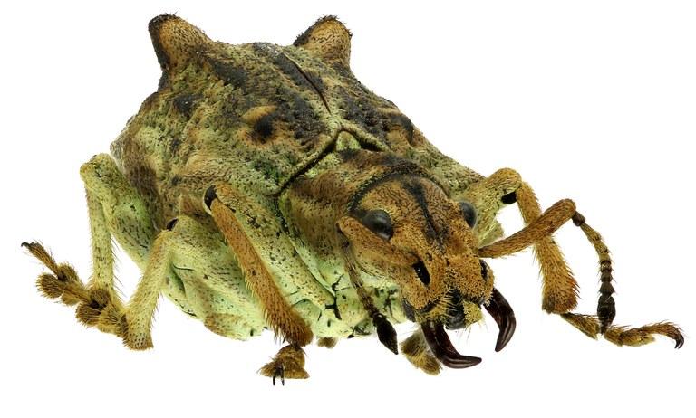 Platyomus nodipennis Eos371ZS99 r.jpg