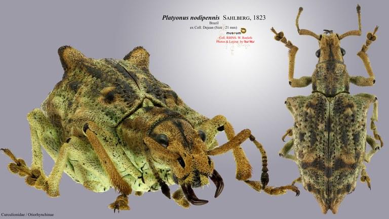Platyomus nodipennis.jpg