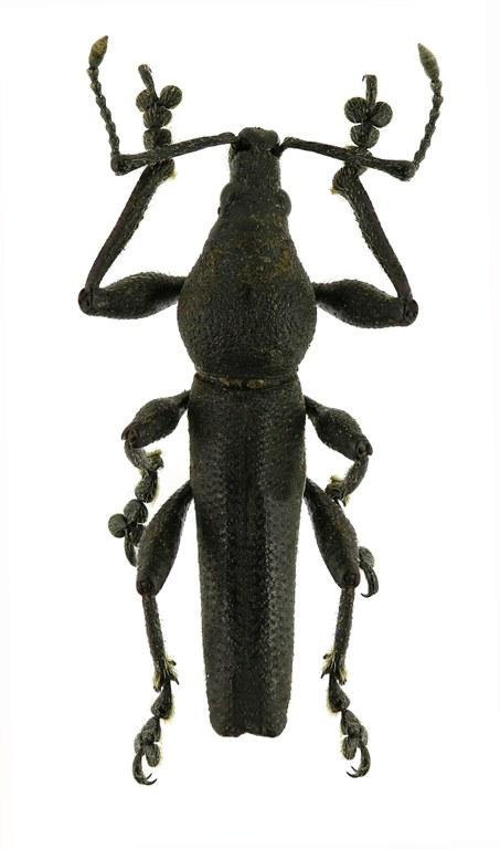 Platyspartus latiscapus Eos 973cz85.jpg