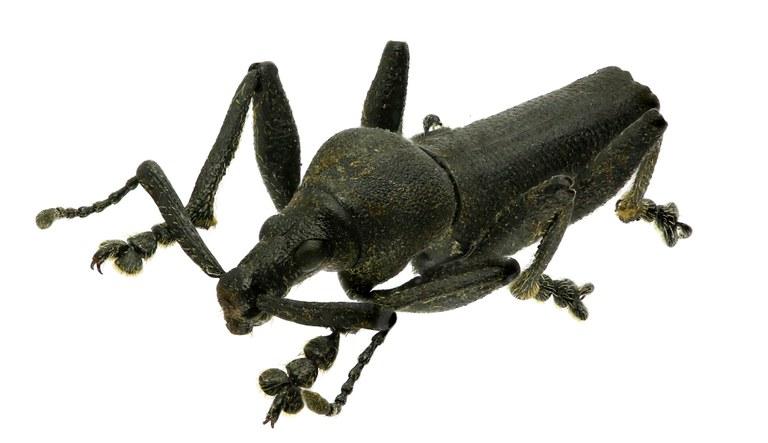 Platyspartus latiscapus Eos004 ZS27 r.jpg
