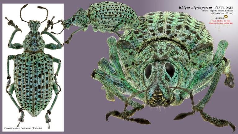 Rhigus nigrosparsus.jpg