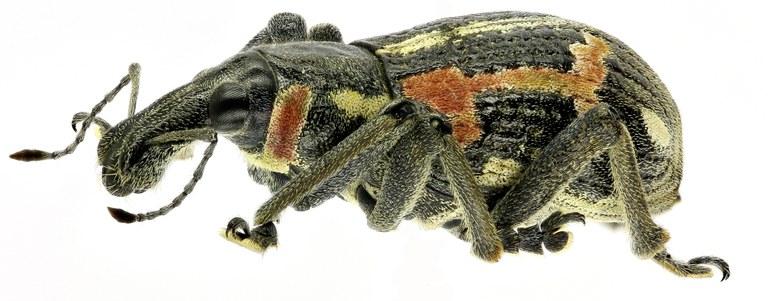 Rhinoscapha (Rhinoscapha) richteri Eos969ZS2014 PMax.jpg