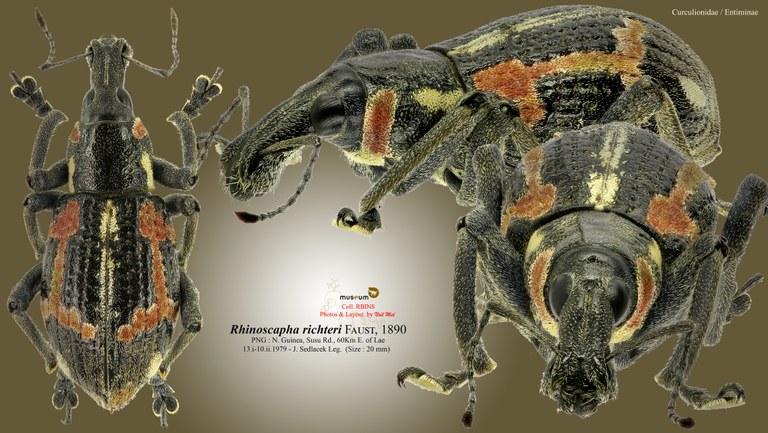 Rhinoscapha (Rhinoscapha) richteri.jpg