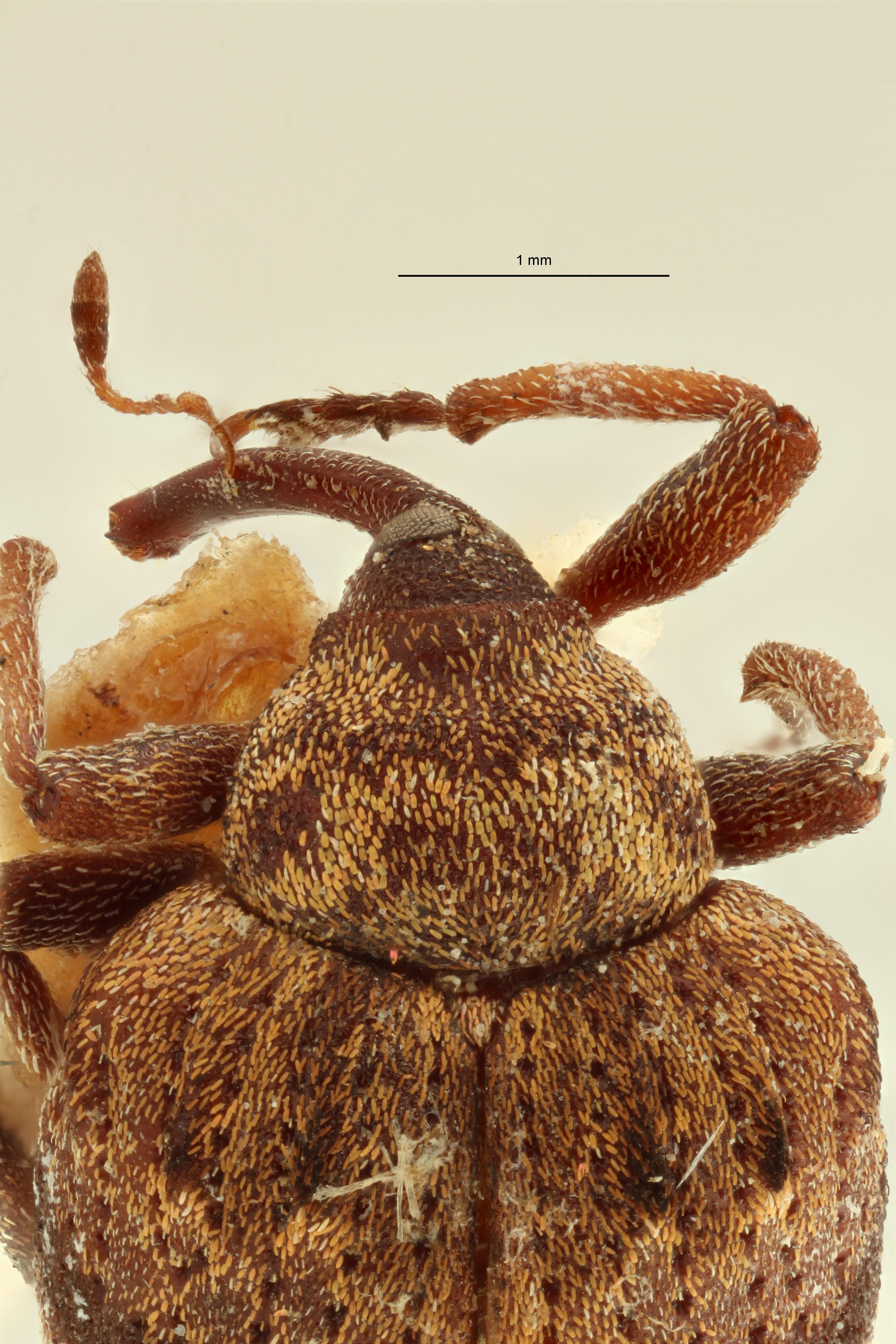 Phaeopholus major lt Pronotum ZS PMax Scaled.jpeg
