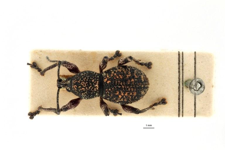 Coptorrhynchus leopoldi pt D.jpg