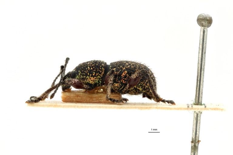 Coptorrhynchus leopoldi pt L.jpg
