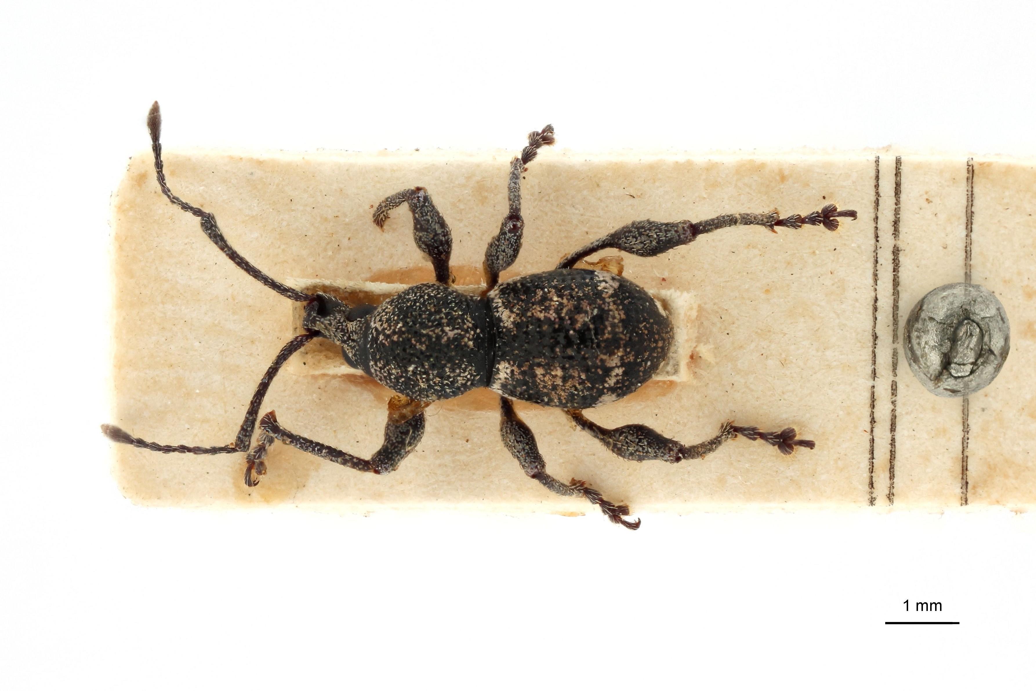Coptorrhynchus subligatus pt D.jpg