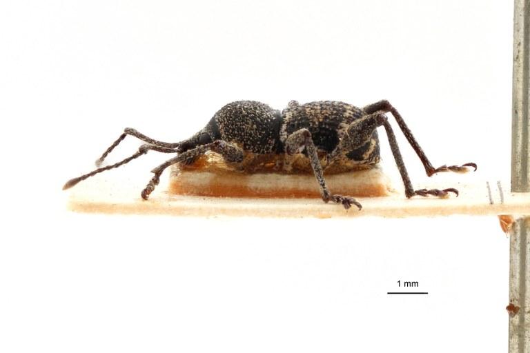 Coptorrhynchus subligatus pt L.jpg