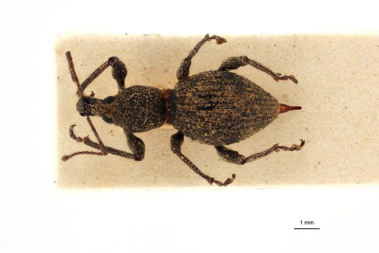 Coptorrhynchus terrenus pt D.jpg