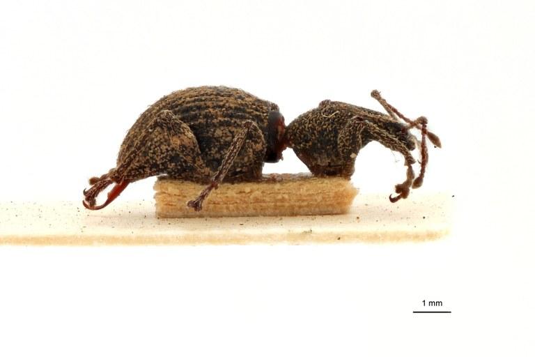 Coptorrhynchus terrenus pt L.jpg