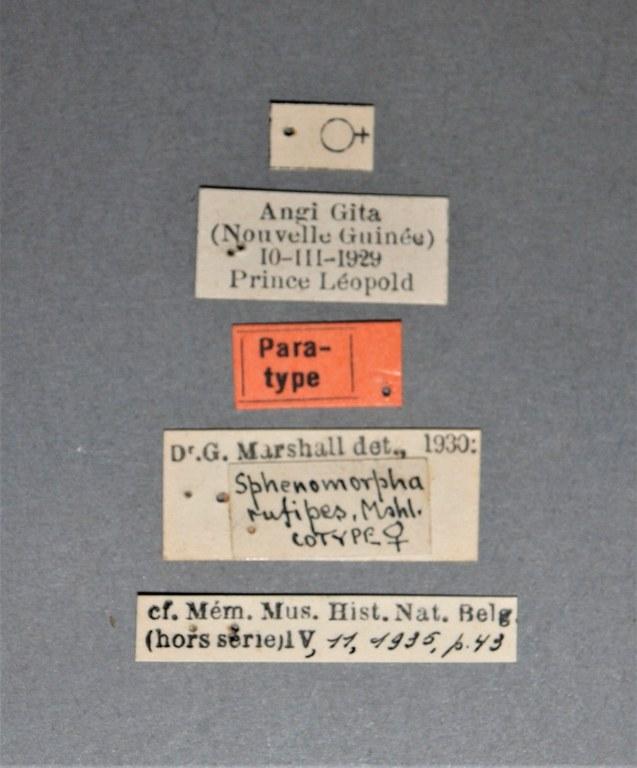 Sphenomorpha rufipes pt.JPG