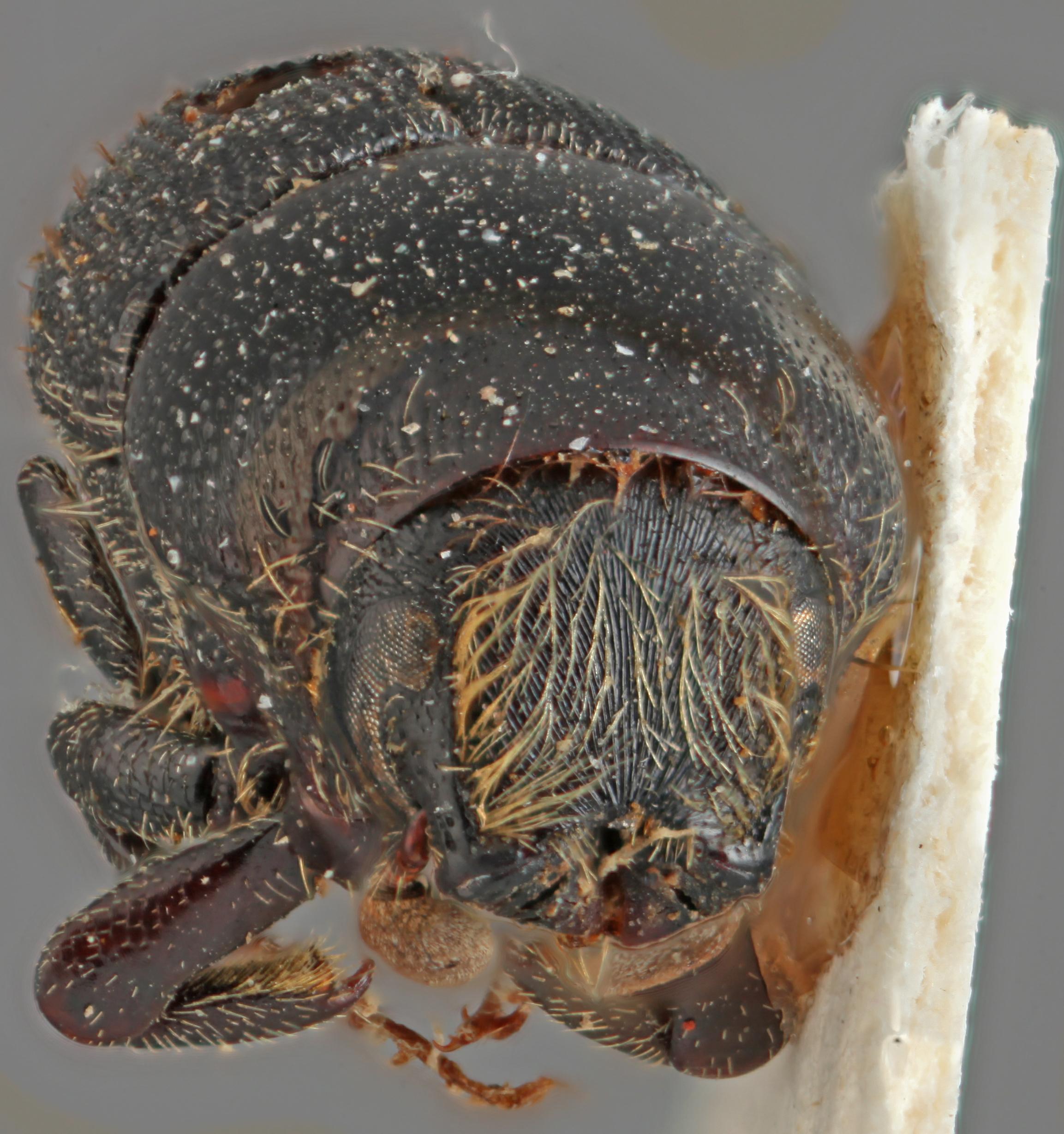 Scolytus costellatus frontal.jpg