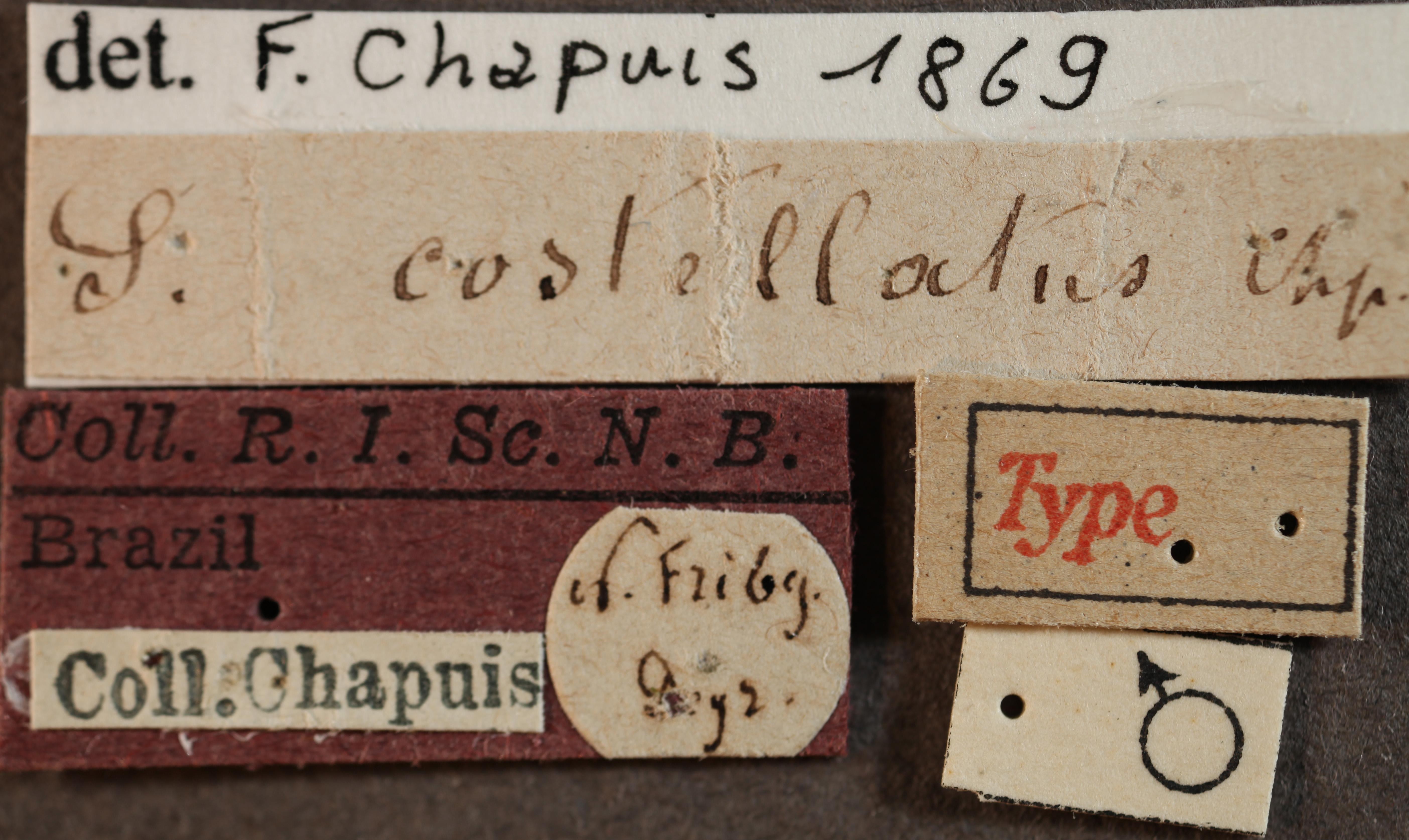 Scolytus costellatus labels.jpg