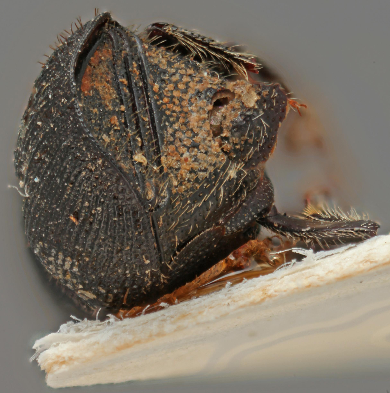 Scolytus costellatus posterior.jpg