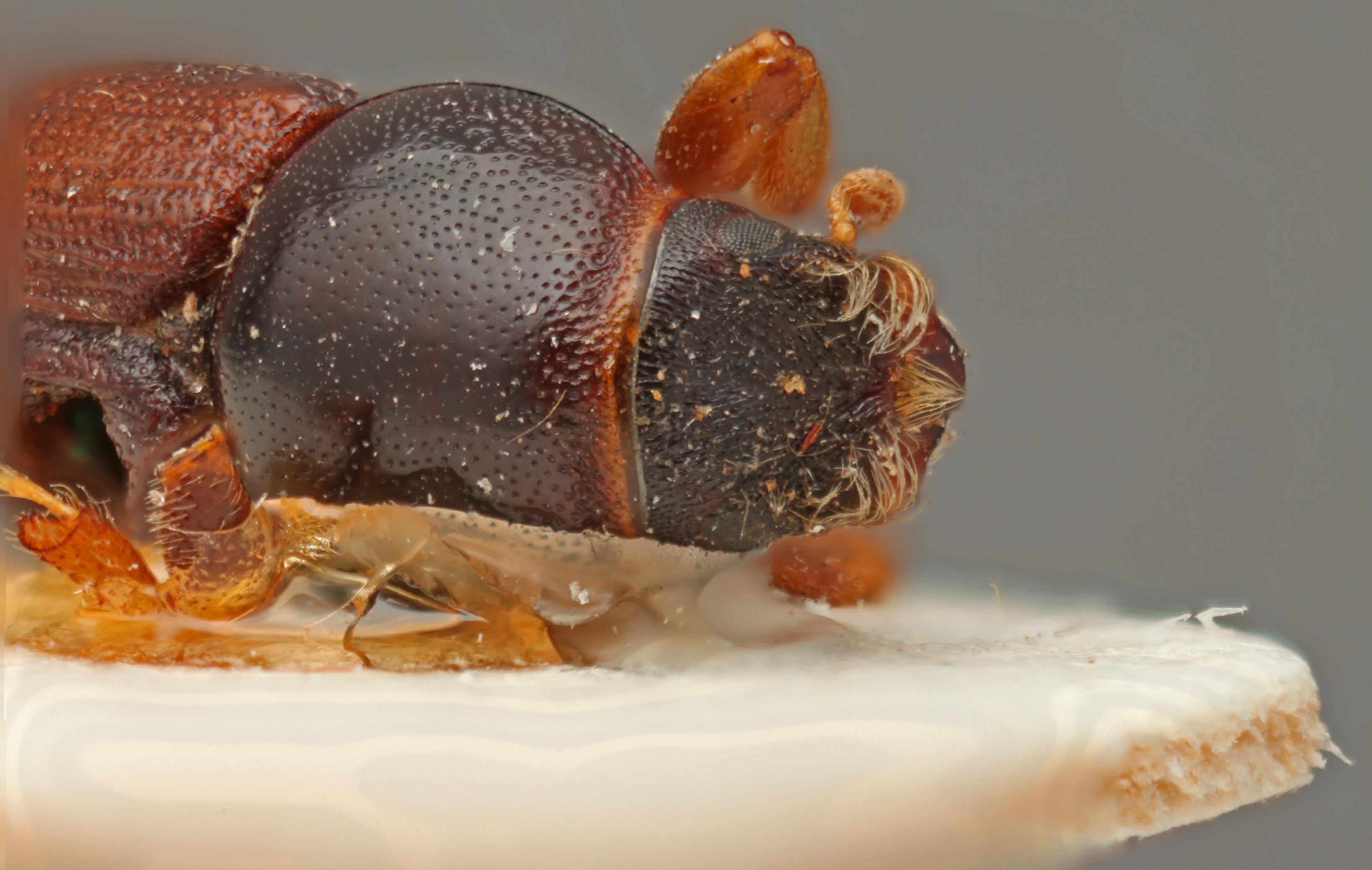 Scolytus dahuricus frontal.jpg