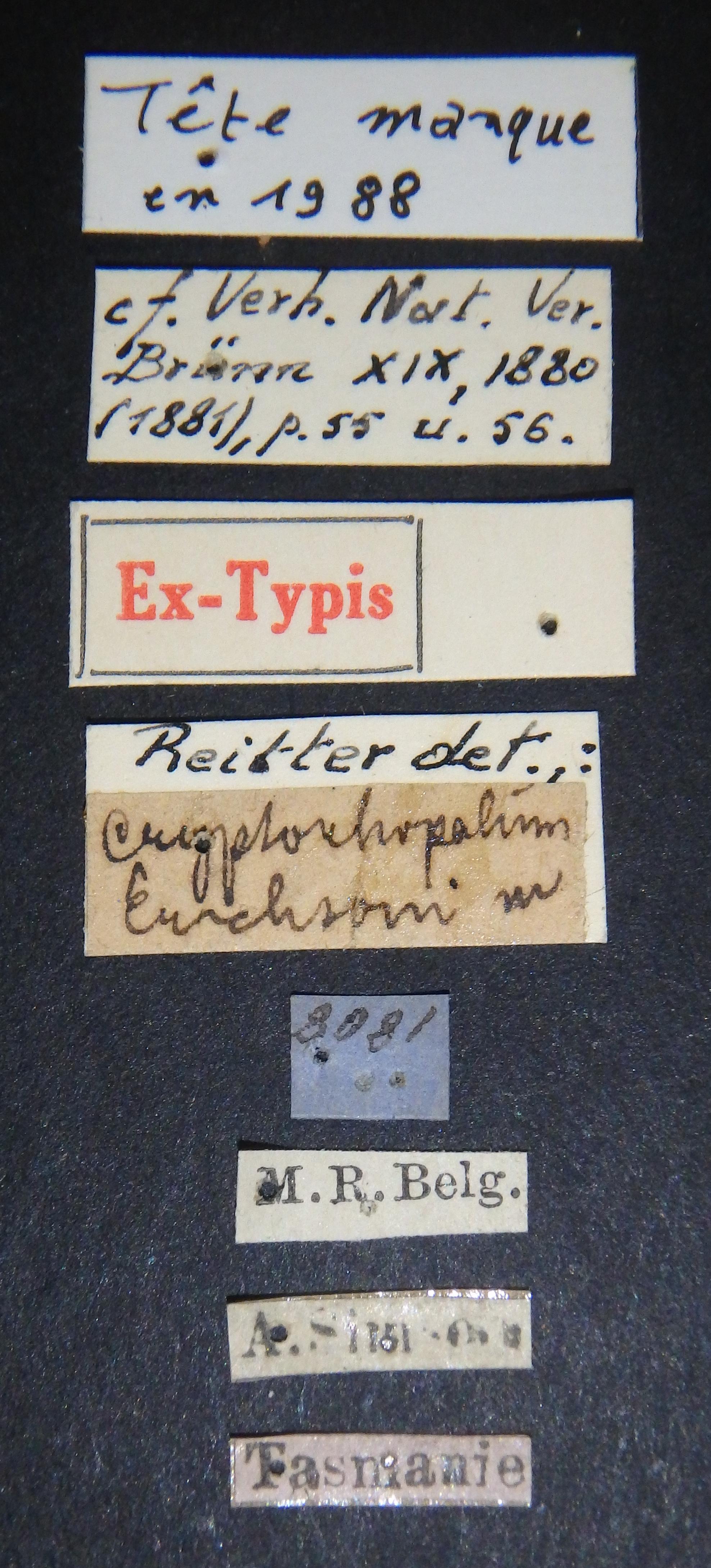 Cryptorhopalum erichsoni et Lb.JPG