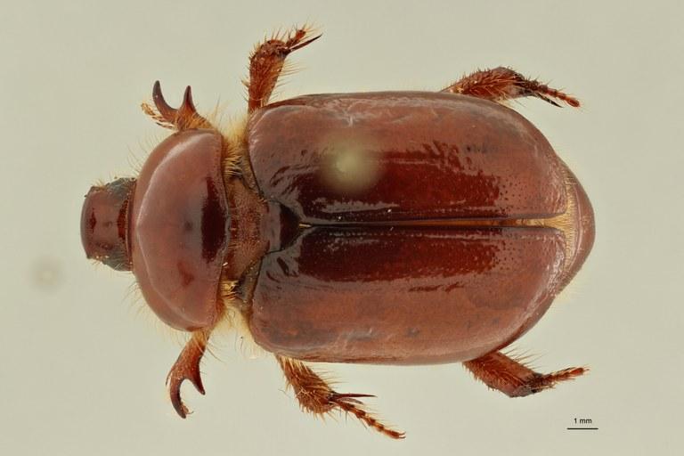 Calicnemis sardiniensis pt D ZS PMax Scaled.jpeg
