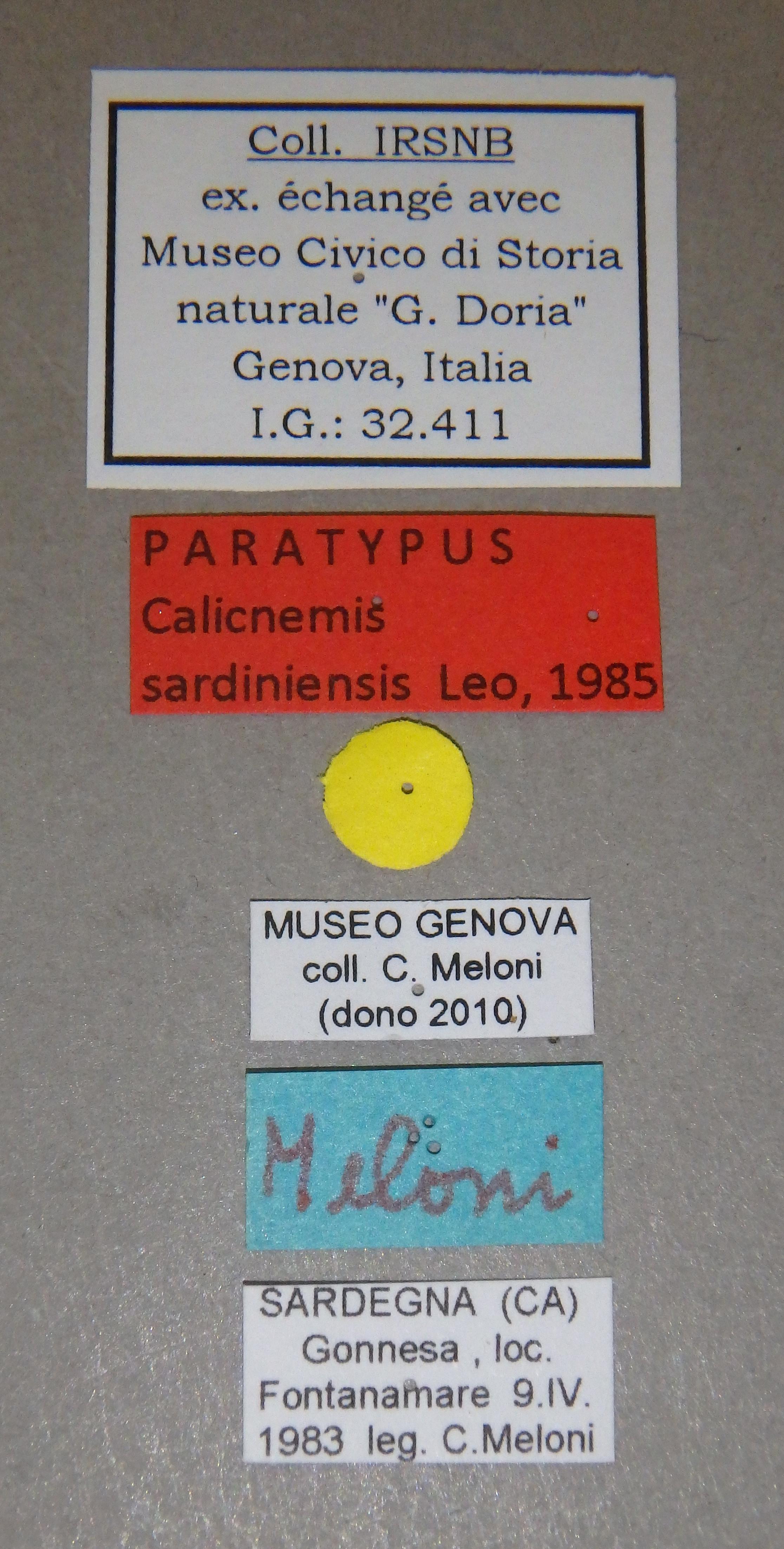 Calicnemis sardiniensis pt Lb.JPG