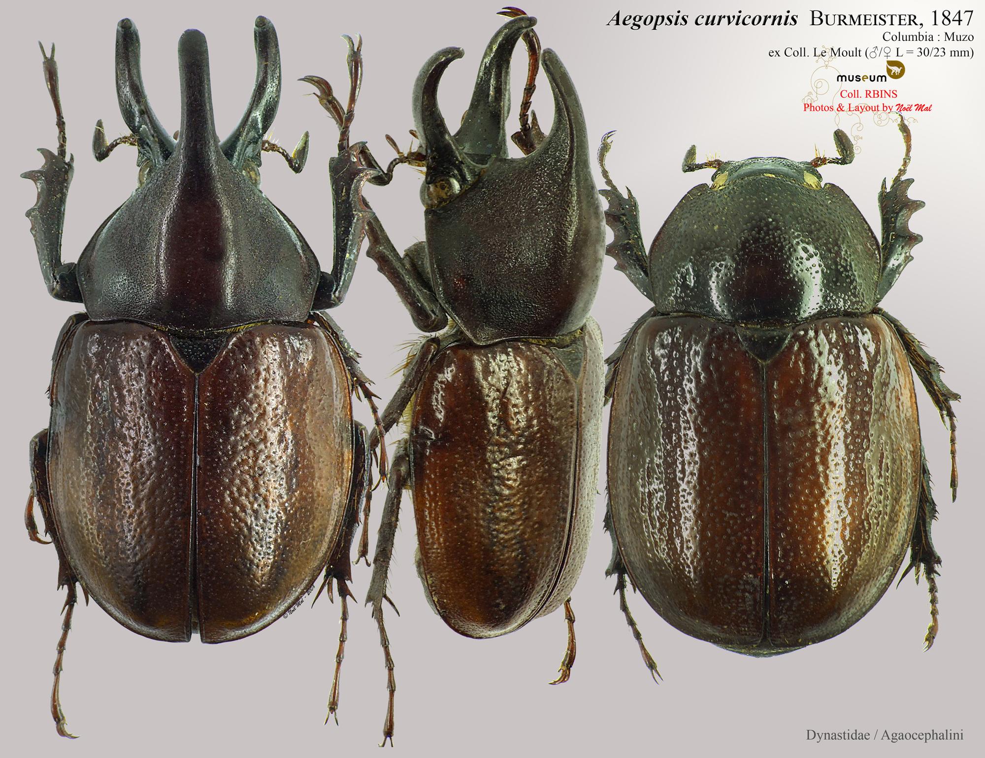 Aegopsis curvicornis.jpg