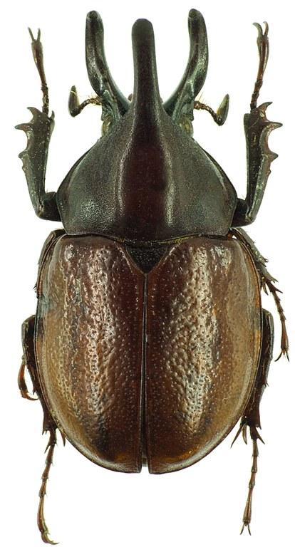 Aegopsis curvicornis 30137cz40.jpg
