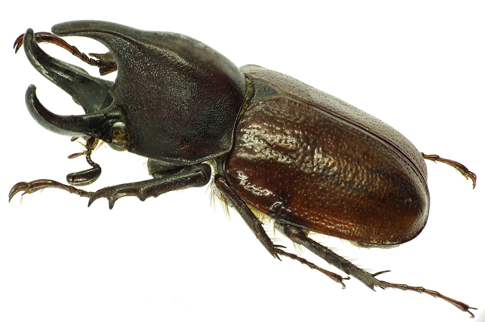 Aegopsis curvicornis 30142cz49.jpg