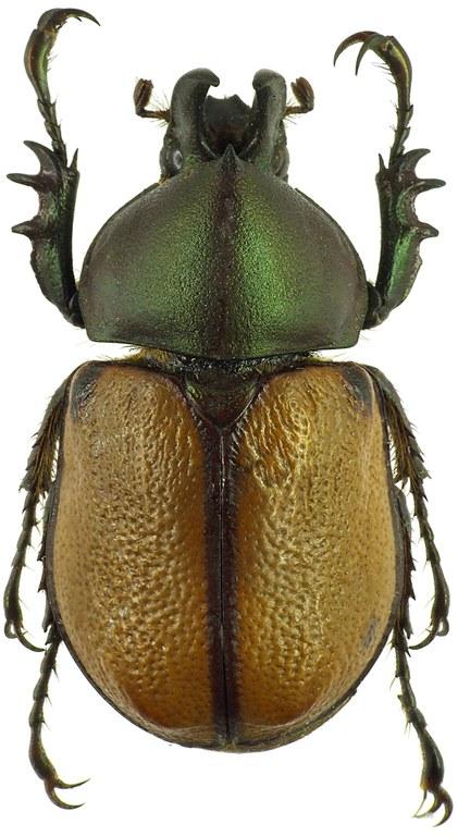 Agaocephala cornigera 30105cz08.jpg