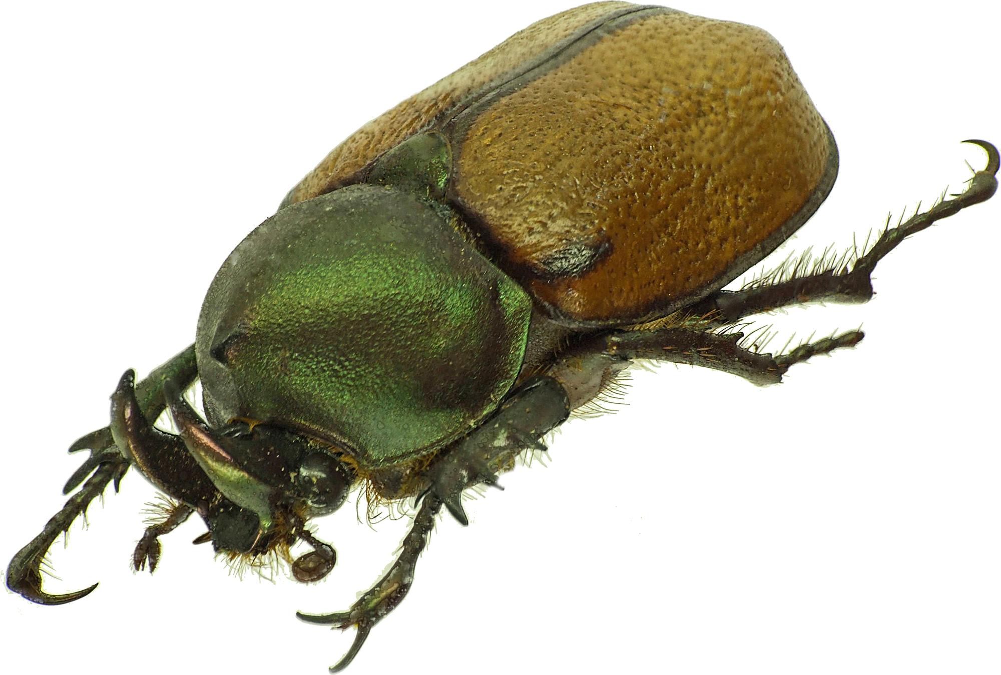 Agaocephala cornigera 30109cz16.jpg