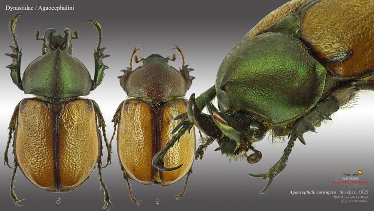 Agaocephala cornigera.jpg