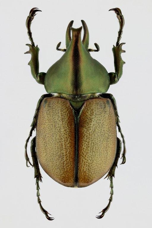 Agaocephala mannerheimi 66723zs38.jpg