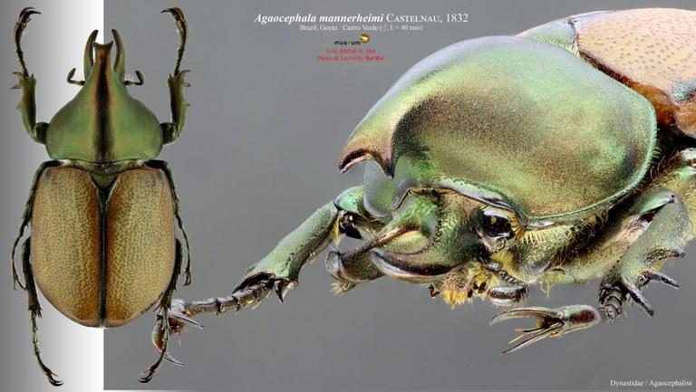 Agaocephala mannerheimi.jpg