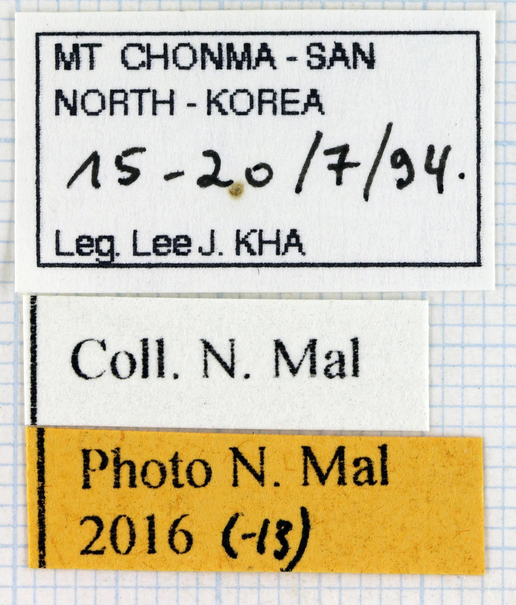 Allomyrina dichotoma dichotoma 66851zs60.jpg