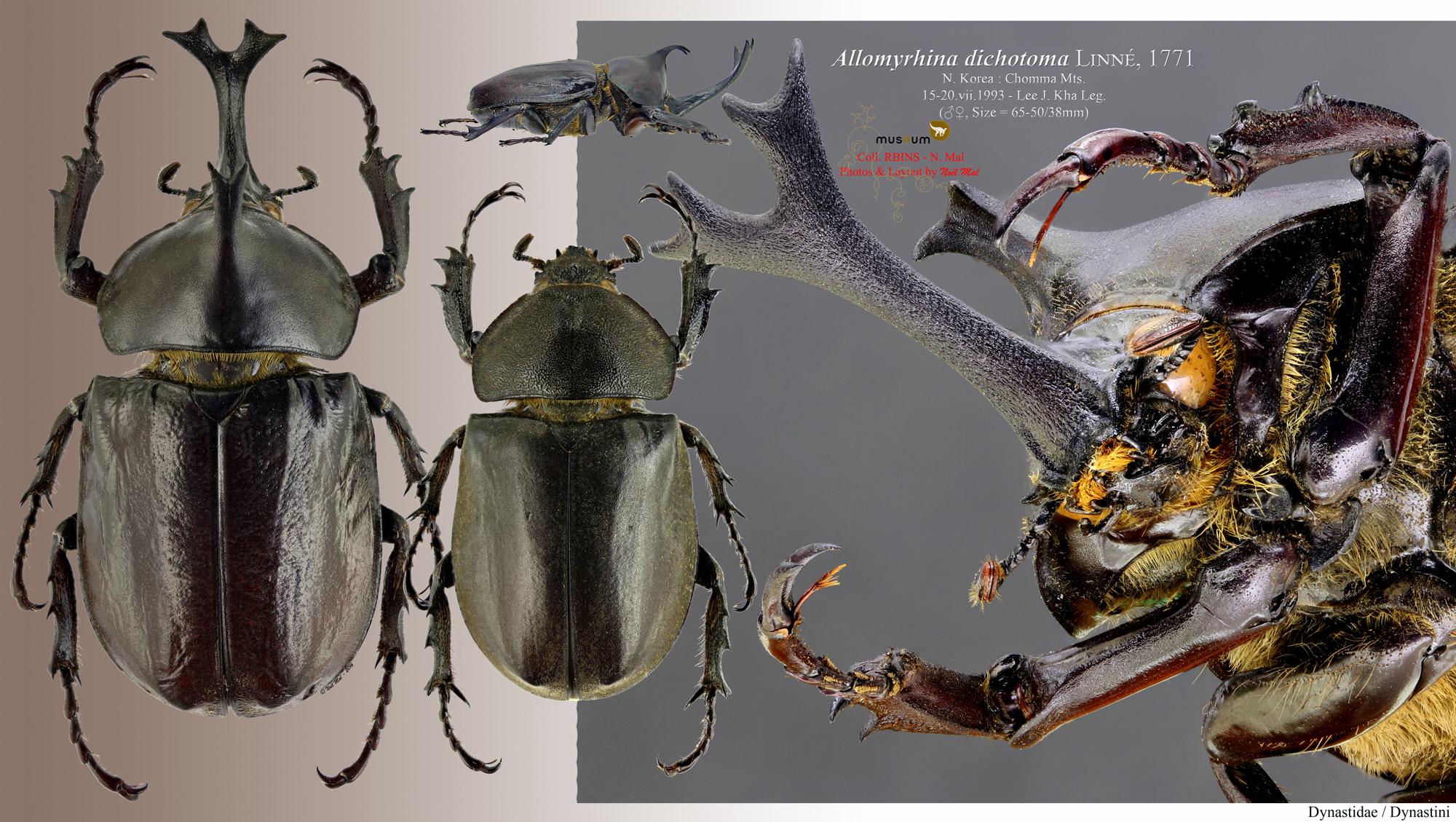 Allomyrina dichotoma dichotoma.jpg