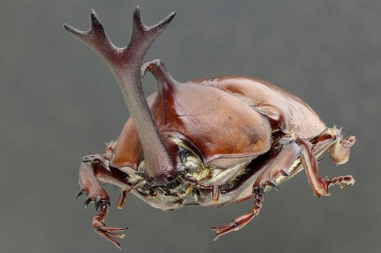 Allomyrina dichotoma tunobosonis 66808zs38.jpg