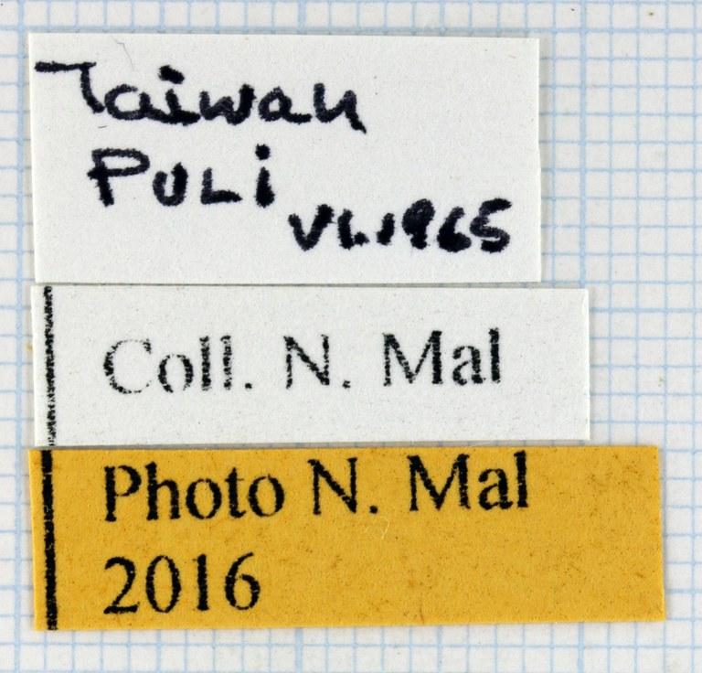 Allomyrina dichotoma tunobosonis lab Taiwan 66851zs60.jpg